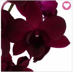 """This is a """"Burgundy black"""" orchid. I like the color, again a bit pink, it may be a little dark though. I don't know that I would work a darker color like this in. However, if it is like this picture of the color it is great (the other pictures looked darker). I really like the shape of these flowers. I will say as well that these seem to come on branches and I'd rather the slightly branched additions (if we go that route) to come from lighter pink flowers, but I'm not too picky though."""