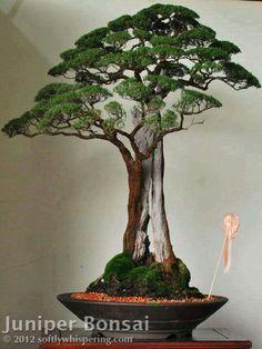 Bonsai de Junipero. Juniperus L. é um género de coníferas pertencentes à…
