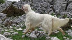 English setter CH.GR TRAILER - ZICKO -