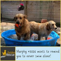 It's almost time to get out those water wings...always remember, Safety First! #FeelGoodFriday #goldenretriever #secondchance Feel Good Friday, Safety First, Swimming, Wings, Weather, Swim, Feathers, Weather Crafts, Feather