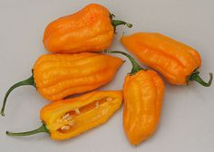 bonda man jacques pepper Seeds (Capsicum chinense) Aromatic scent and have potent heat, An uncommon variety, From Martinique!
