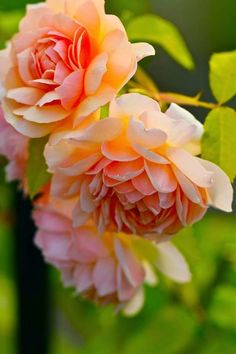 Grace' ~ David Austin English Rose