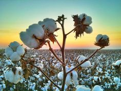 Cotton Close-up - Leland, Mississippi - Mississippi Delta Sunset - Order prints from www.flatoutdelta.com -  © 2013 John Montfort Jones