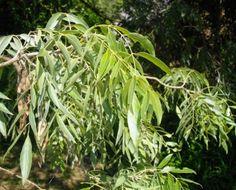 Salix Mucronata subsp. Woodii           Flute Willow        Fluitjiewilger         S A no 36,2