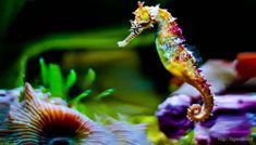 Colorful Seahorse Wallpaper Full Hd
