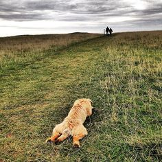 """""""#alfborder patiently and politely waiting for a friend to frolic with on #selsey common  #borderterrior #btposse #ultimateborder #dog #hound #pooch #puppy #cotswolds #cotswoldway"""" Photo taken by @combehouse on Instagram, pinned via the InstaPin iOS App! http://www.instapinapp.com (09/14/2015)"""