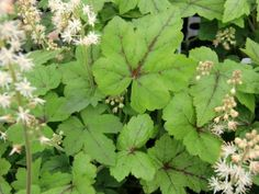 Tiarella cordifolia is a great spreading groundcover for shady spots in any CT garden.