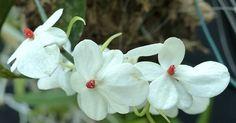Orchidée d'Afrique centrale