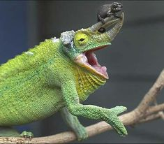 Chameleon with nose ornament.