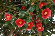 동백꽃 camellia Bloom Where You Are Planted, Watercolor, Rose, Flowers, Wedding, Victoria, Lady, Gardening, Japanese Flowers