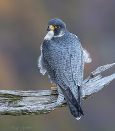An adult male Peregrine Falcon