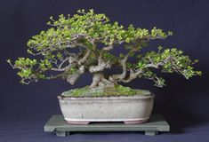 New Zealand Bonsai Association Bonsai Plants, New Zealand, Nativity, Cactus, Succulents, Trees, Artists, The Nativity, Tree Structure