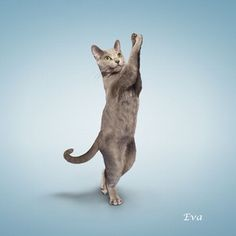 Big Cats, Cool Cats, Cats And Kittens, Kitty Cats, Dancing Cat, Yoga For Kids, Kid Yoga, Russian Blue, Cat Photography