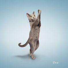 以前ご紹介したヨガ・ドッグの猫Ver.のヨガをする猫。「ヨガ・キャット」です。 ドッグと同じく写真家のDan  …