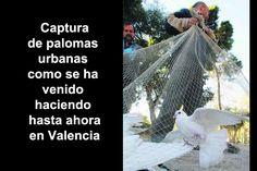 Esta es la forma que desde hace años y hasta ahora se venía haciendo para reducir el numero de palomas de la ciudad de Valencia. El sistema consistía en distribuir comida y cuando las aves acudían eran capturadas con grandes redes y luego eliminadas normalmente con gas.  #Control de la población de palomas urbanas #Palomas Control, Valencia, City, Report Cards, Urban, Birds, Activities, Food