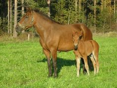 Finnish Horse with her Foal
