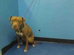 URGENT_ ON DEATH ROW TONIGHT_COCO is an adoptable Pit Bull Terrier Dog in New York, NY. A staff member writes: Coco is one of those dogs who could easily slip through the cracks. Average age, average look, she came in sick with a...