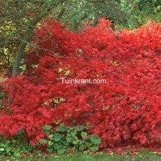 Acer palmatum 'Osakazuki' - japanse esdoorn groen in zomer, met oranje nieuwe bladen. Felrood in herfst. Ook als struik toe te passen.
