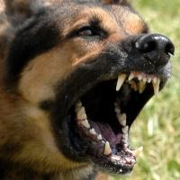 The Oldest Form Of Home Defense...  I Love Our German Shepherd!