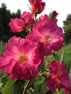 Rosier WILDROVER by FilRoses Le Temps des Roses, via Flickr - www.filroses.com