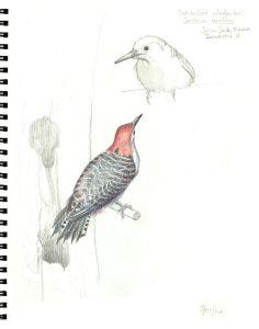 Red-bellied Woodpecker sketch © 2016 Karen A. Johnson