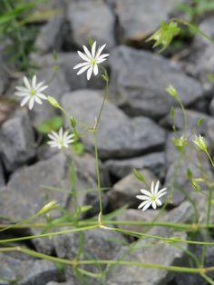 Metsätähtimö--Stellaria longifolia