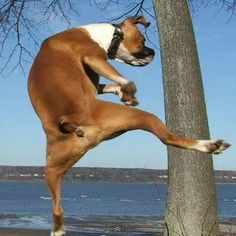 KICK BOXER  #cute dog #funny dog #dog #cute animals #puppy #puppies #pooch #poochie #doggie # doggy # doggies #dogs #funny dogs #funny puppies #funny puppy #boxer #kick boxing