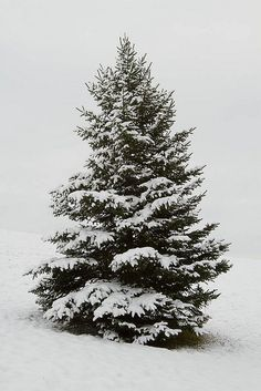 """((Snow covered pine tree.))"" Thank you Dear God for lovely fresh and refreshing Pine trees.....such healing scent in their pitch....and such graceful beauty....."
