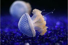 Beautiful, Jellyfish