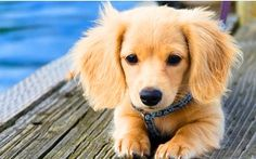 Dachshund mixed with Golden Retriever. <----- this is NOT a dachshund mixed with retriever - not possible have you seen the size of the two dogs? It's just a long hair mini dachshund.however it's super duper cute! Dachshund Funny, Dachshund Mix, Golden Dachshund, Golden Weiner Dog, Dapple Dachshund, Golden Puppy, Daschund Puppies Long Haired, Long Hair Daschund, Long Haired Miniature Dachshund