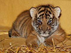 On June 21, a Malayan Tigress named Cindy gave birth to three healthy cubs at Zoo Halle in Germany. They have recently opened their bright blue eyes and are starting to take their first uncertain steps.  See and learn more at ZooBorns: http://www.zooborns.com/zooborns/2013/07/malayan-tiger.html