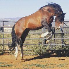 Chilean stallion