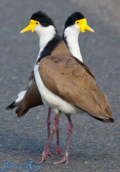 A pair of Masked Lapwing birds.
