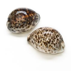 Seashells - Tiger Cowrie - Cypraea tigris