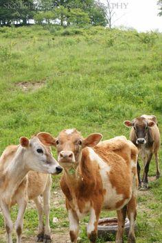 cows~so cute...