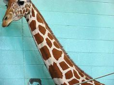 color scheme? giraffe neutrals with pops of turquoise