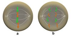 In metaphase (a), the microtubules of the spindle (white) have attached and the chromosomes have lined up on the metaphase plate. During anaphase (b), the sister chromatids are pulled apart and move toward opposite poles of the cell.