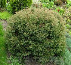 Туя западная Эрикоидес (Ericoides), вересковидная, саженцы h 30+ см, фото 1