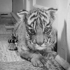 """""""Eyes bright with jungle fierceness and body tense with stalking instinct, Rajpur, the Bronx tiger cub, crosses the threshold from kitchen to living room. - LIFE Magazine, 1944 (Alfred Eisenstaedt—The LIFE Picture Collection/Getty Images) #wildLIFEwednesday Nice animal but not suitable for a pet"""