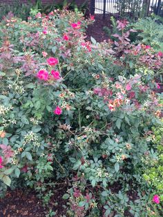 Murray - Saw these while walking around campus today & I was captured by the bright pink flowers against the dull green. The colors in this plant vary all across the spectrum in tints and shades, especially in pink and green!
