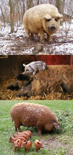 MANGALISTA PIG - Mangalitsa or Mangalica is a rare breed of pig of Hungarian origin that has an unusual growth of curly hair over its body, akin to that of a sheep. The fleece can be black, or red, but is most commonly blond.