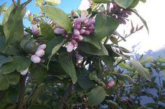 Limonero estallando en su florecer maravilloso .