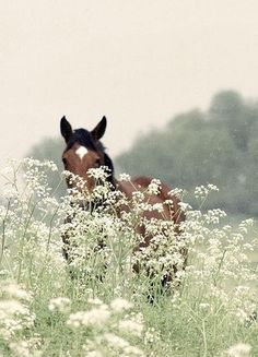 Beautiful horse among Queen Anne's Lace All The Pretty Horses, Beautiful Horses, Animals Beautiful, Hello Beautiful, Zebras, Farm Animals, Cute Animals, Photo Animaliere, Horse Pictures