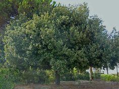 Crnika (Quercus ilex) grows in coastal part of Croatia and on Adriatic islands
