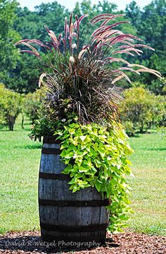 Wine Barrel - Photo by David Wetzel.  The   Pennisetum and sweet potato vine are classic, never getting   old.