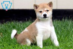 Get ready for tons of great times with this adorable and social Shiba Inu puppy by your side! He is a real cutie pie who will squirm his way into your Baby Sister, Pet Puppy, Baby Dogs, Photographing Babies, Shiba Inu, Puppies For Sale, Baby Gap, Baby Photos, Baby Gifts