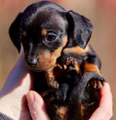 Dachshund – Friendly and Curious Cute Baby Dogs, Cute Little Puppies, Cute Dogs And Puppies, Cute Little Animals, Cute Funny Animals, Weenie Dogs, Dachshund Puppies, Chihuahua, Doggies