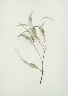 Back Burn is a beautiful botanical series by Australian photographer Jared Fowler of burnt leaves left as a result of preventative fires.