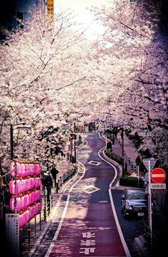 cherryblossoms in Japan