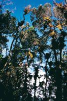 La atmósfera siempre cargada de humedad favorece el desarrollo de diversas plantas epifitas que forman grandes masas de material vegetal sus...